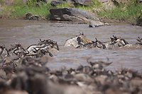 Crocodile attacks wildebeest as they cross the Mara River during the annual migration at the Masai Mara Reserve, Kenya, Africa (photo by Wildlife Photographer Matt Considine)