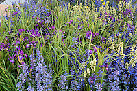 Catmint Nepeta, Irises in spring bloom in blue and purple color themed garden
