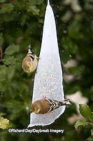 01640-160.17 American Goldfinches (Carduelis tristis) on mesh birdseed bag, Marion Co., IL