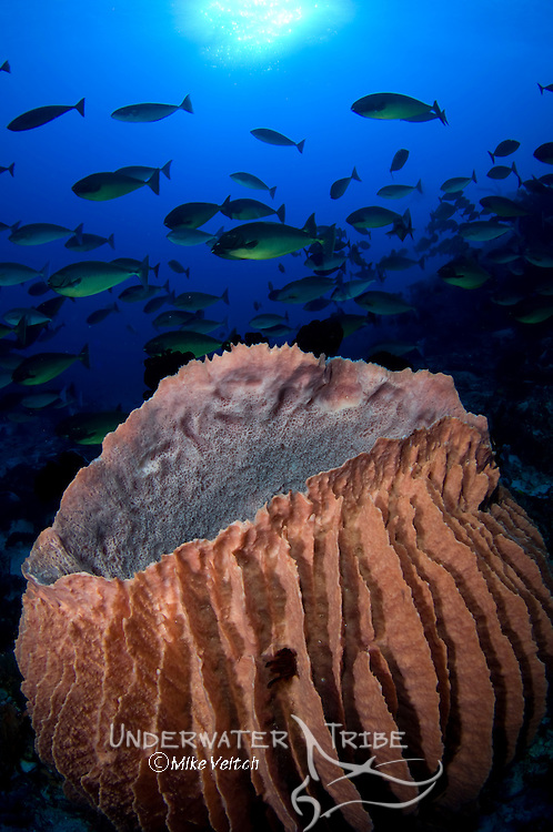 Giant barrel sponge, Xestospongia sp., and schooling sleek surgeonfish or unicornfish, Naso hexacanthus, Raja Ampat, West Papua, Indonesia, Pacific Ocean