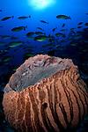 Giant barrel sponge, Xestospongia sp., and schooling sleek surgeonfish or unicornfish, Naso hexacanthus, Raja Ampat, West Papua, Indonesia, Pacific Ocean