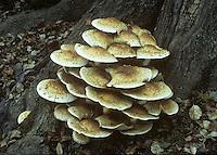 shaggy scalycap<br /> Pholiota squarrosa