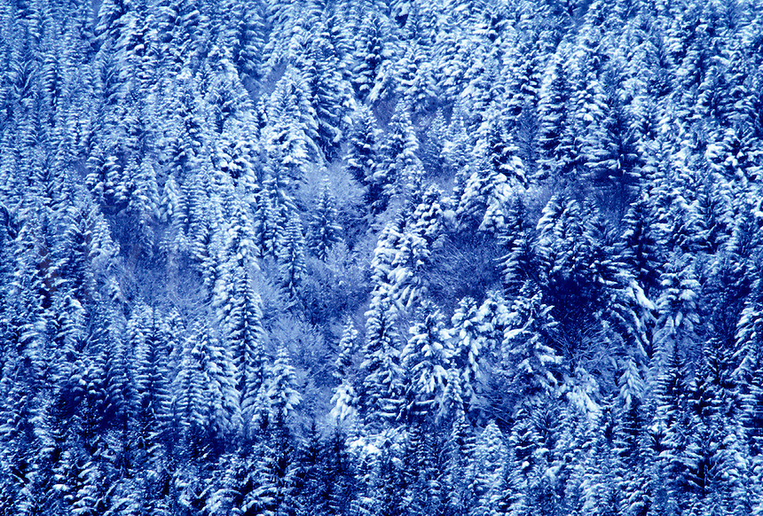 Aerial view of a Winter wonderland, forest, snow on evergreen trees in Germany. Germany.