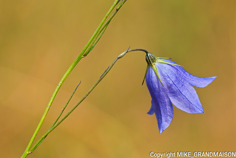 Harebell (Campanula rotundifolia) blossom  growing on Kendall Inlet Road<br />Kenora<br />Ontario<br />Canada
