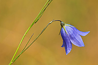 Harebell (Campanula rotundifolia) blossom  growing on Kendall Inlet Road<br />