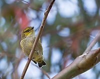 The forty-spotted pardalote is one of Australia's rarest birds.