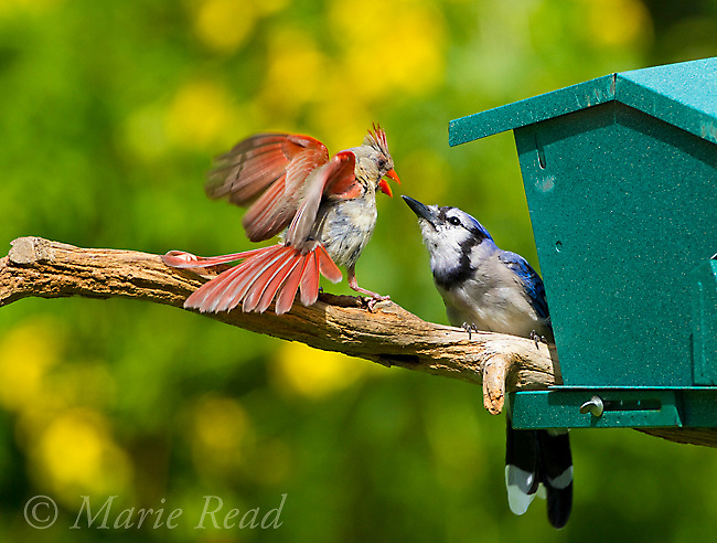 Aggressive interaction between North Cardinal (Cardinalis cardinalis) (left) female and Blue Jay (Cyanocitta cristata) at bird feeder, the cardinal  seemed particularly aggressive maybe because her fledgling was nearby, New York, USA