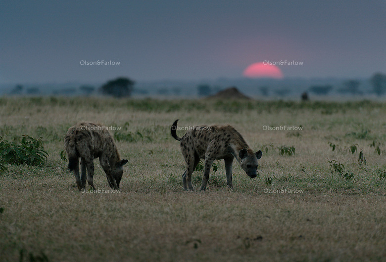 Not only are the wildlife coming back to Grumeti Reserves after heavy anti-poaching with their private army, but the animals are becoming habiutated... These hyena cubs are used to cars and tourists after many wildlife guides have been by their den.