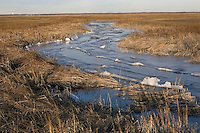 Salt Marsh winter; Spartina; NJ, Delaware Bay