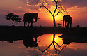 African elephants at water hole in Savuti, Chobe National Park, Botswana