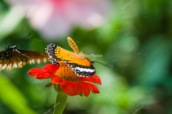A Leopard Lacewing (Cethosia cyane) covers the flower it is feeding on and displays its abdomen to try to prevent other butterflies from feeding on the same flower. (Cambodia)