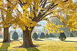 Ginko trees in the Boston Public Garden, Boston, MA, USA