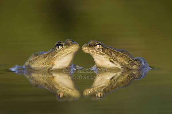Rio Grande Leopard Frog, Rana berlandieri, two adults in water with reflection, Uvalde County, Hill Country, Texas, USA, April 2006