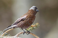 Gray-crowned Rosy-Finch - Leucosticte tephrocotis - Adult male breeding