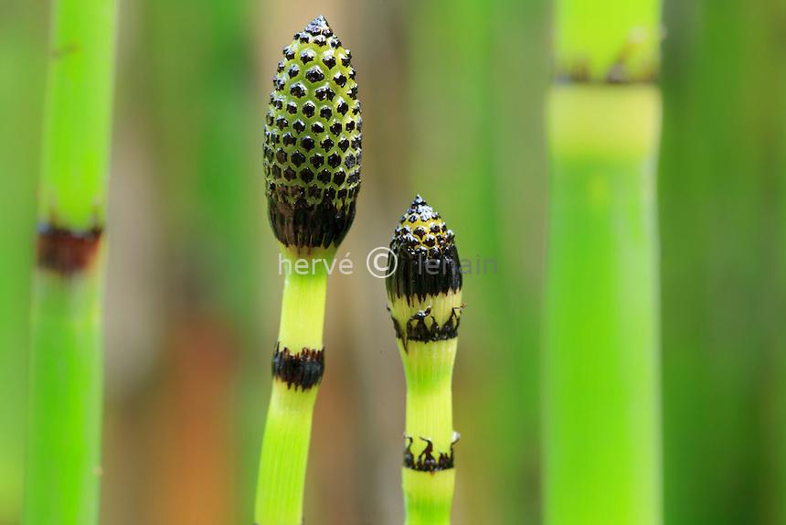 Prêle d'hiver, Equisetum hyemale (= Equisetum japonica), extrémité de tige fertile // Rough horsetail or scouring rush, Equisetum hyemale. Fertile stem.