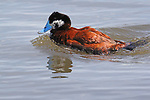 RUDDY DUCK, BIRDS OF NORTH AMERICA