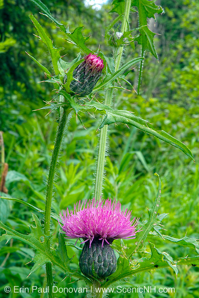 Bull Thistle -Cirsium vulgare-  in a New England forest during the summer months..The Bull Thistle is part of the Aster family