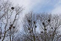 Saatkrähe, Saat-Krähe, Krähe, Kolonie, Nester, Nestkolonie, Krähenkolonie, Corvus frugilegus, Rook, Corbeau freux