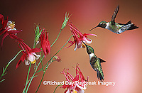 01162-071.07 Ruby-throated Hummingbirds (Archilochus colubris) males on Crimson Star Columbine (Aquilegia x hybrida) IL