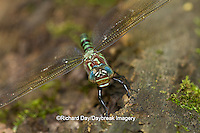 06370-00211 Swamp Darner (Epiaeschna heros) female ovipositing laying eggs on log in water, Marion Co., IL
