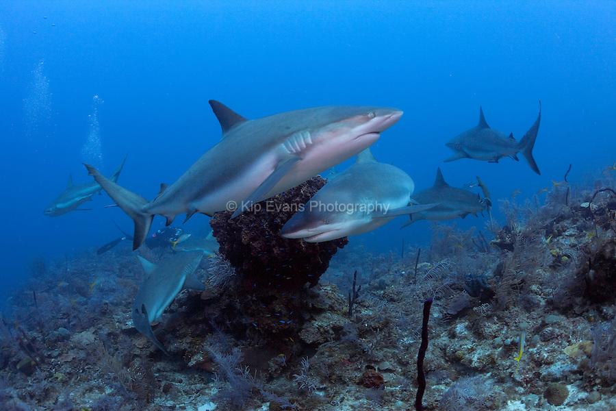 Caribbean reef sharks, Cuba