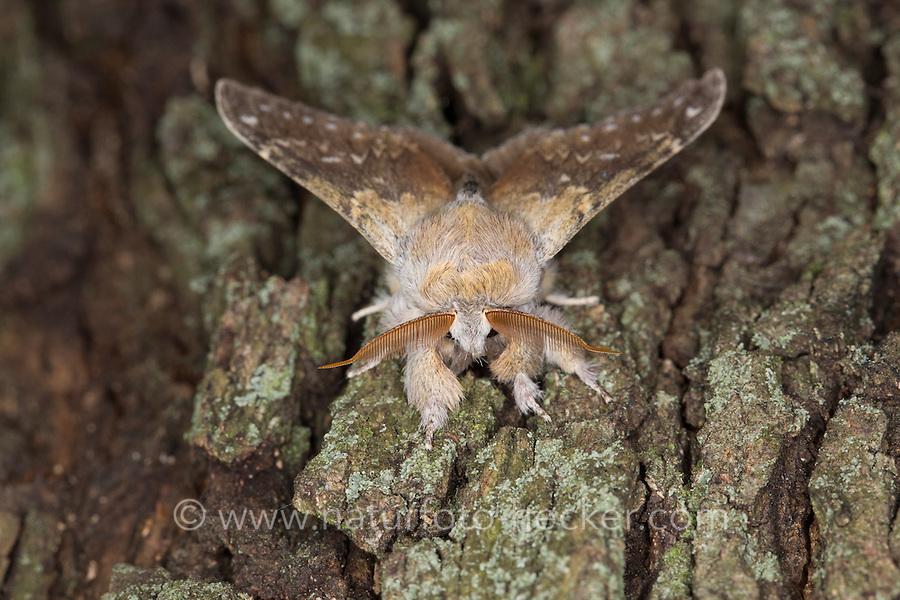 Buchen-Zahnspinner, Portrait, Porträt, Antennen, Buchenspinner, Buchen-Spinner, Stauropus fagi, lobster moth, Zahnspinner, Notodontidae