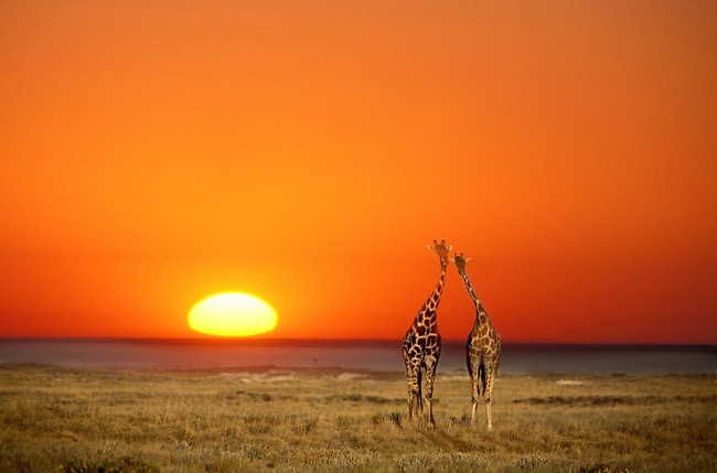 A giraffe couple walking into an orange sunset in Etosha National Park, in Namibia, Africa.
