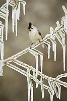 black-crested titmouse, Baeolophus atricristatus, also known as Mexican titmouse, adult perched on icy branch of Christmas cholla, Cylindropuntia leptocaulis, Hill Country, Texas, USA, North America