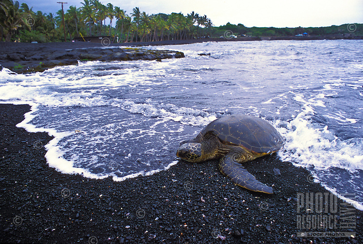 Green sea turtles come ashore to rest on Punaluu black sand beach on the Big island