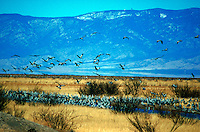 A flock of Sandhill Cranes (Grus canadensis, Family -Grudae)takes flight over the desert landscape. Sulphur Springs Valley, Arizona.
