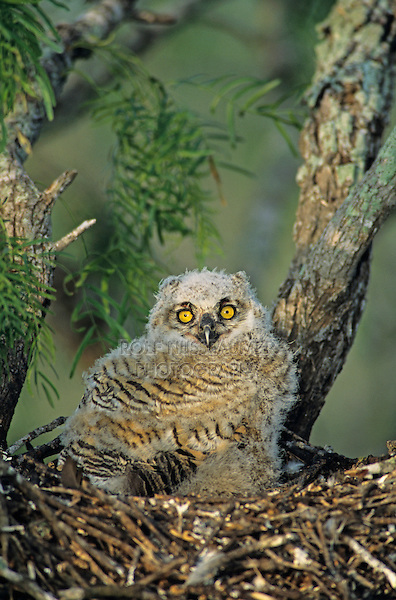 Great Horned Owl, Bubo virginianus, young in nest in mesquite tree, Willacy County, Rio Grande Valley, Texas, USA