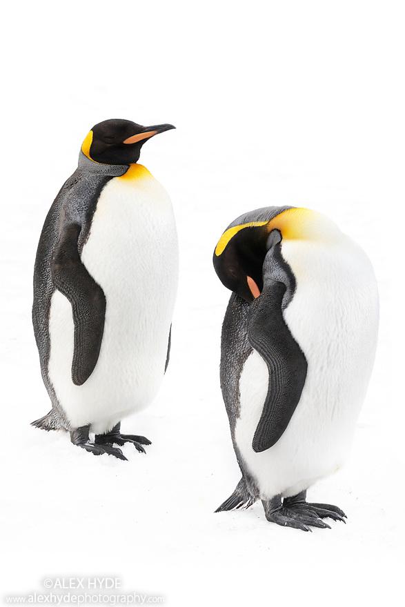 King Penguins (Mirounga leonina). Grytviken, South Georgia. November.
