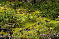 Seedling conifer trees, Pretty Marsh, Acadia NP, Maine,