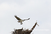 00783-01804 Osprey (Pandion haliaetus) in flight to nest with food Cruickshank Sanctuary - Brevard County, FL