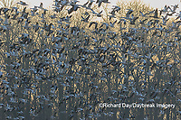 00754-02619 Snow Geese (Anser caerulescens) flying from wetland at sunrise Marion Co. IL