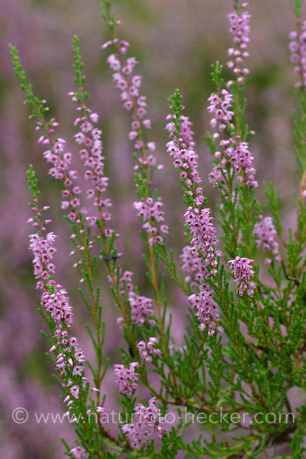 Besenheide, Heidekraut, Calluna vulgaris, Common Heather, Scots Heather, ling