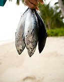 INDONESIA, Mentawai Islands, Kandui Surf Resort, person holding freshly caught fish