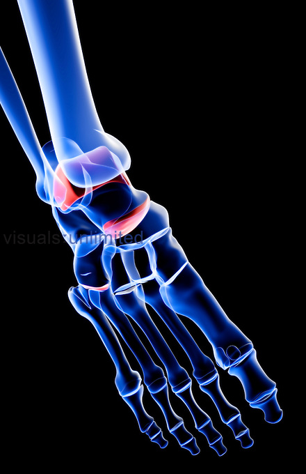 An anterolateral view (right side) of the bones of the foot. Royalty Free