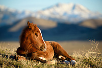 AFternoon Nap / Bliss. A mustang foal doses between romps and nursing during an unseasonably warm February evening as long shadows grow over Utah's west desert. While he appears to be alone, rest assured that momma is keeping a protective eye on her little darling from just outside the frame.