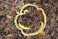 Phaeolus schweinitzii  - Dyer's Mazegill