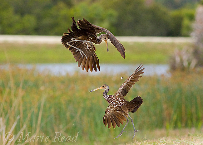 Limpkins (Aramus guarauna) two fighting in midair during a territorial altercation, Viera, Florida, USA