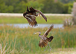Limpkins (Aramus guarauna) two fighting in midair during a territorial altercation, Viera, Florida, USA