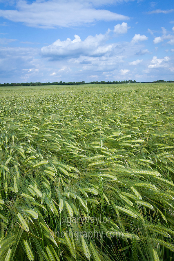 Winter barley in ear - June, Lincolnhire