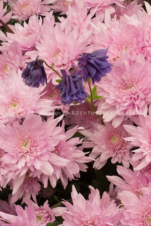 Chrysanthemum 'Posh Pink', Aquilegia vulgaris 'Graeme Iddon Doubles', two perennials planted together