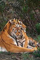 684080001 a mother and cub siberian tiger panthera tigris altaicia share an intimate moment animals are wildlife rescue animals species is native to high steppes of asia and is highly endangered