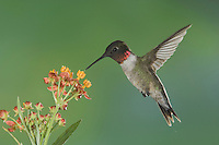 Ruby-throated Hummingbird, Archilochus colubris, male in flight on Mexican Milkweed (Asclepias curassavica), Willacy County, Rio Grande Valley, Texas, USA, May 2006