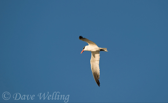 581630003 a wild adult caspian tern sterna caspia hovers in flight over a pond at the salton sea national wildlife refuge in southern california