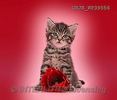 Kim, ANIMALS, REALISTISCHE TIERE, ANIMALES REALISTICOS, cats, photos,+Cute tabby kitten, Fosset, 5 weeks old, with a red poppy flower on pink background.,++++,GBJBWP39556,#A#