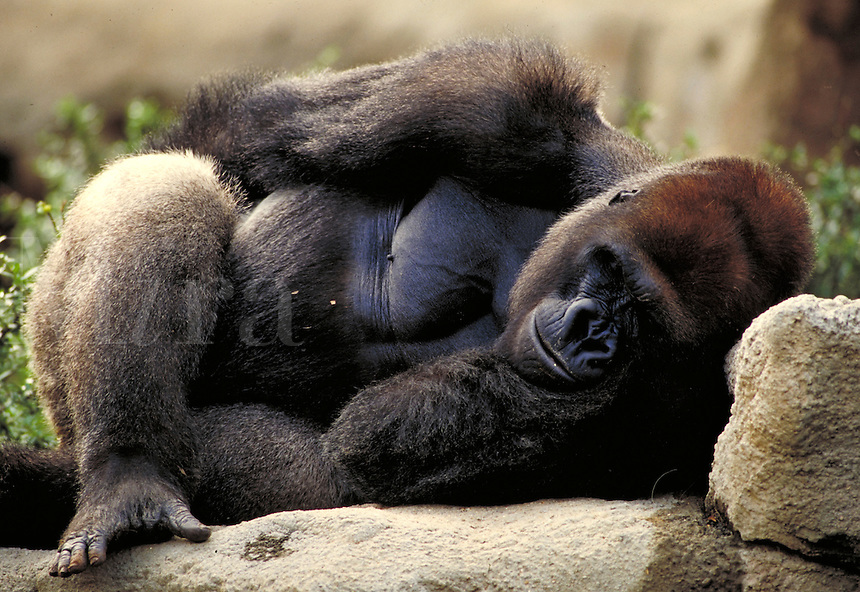 Lowland silverback gorilla in zoo lies on side with cheek in hand. St. Louis Missouri.