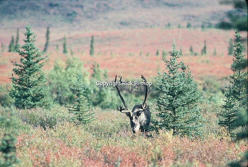Caribou in Alaska.
